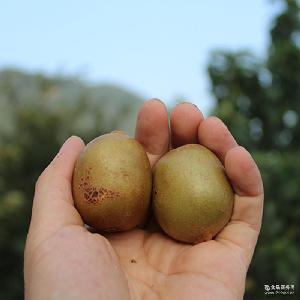 新鲜孕妇水果24个装包邮批发 纯野生猕猴桃奇异果