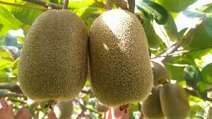 精装小果农家自种江山徐香猕猴桃新鲜水果中果10斤装