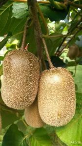 浙江江山徐香猕猴桃大量优质果园现摘精装农家中果绿果猕猴桃