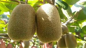 一件代发浙江江山正宗香甜徐香绿果5斤装奇异果猕猴桃