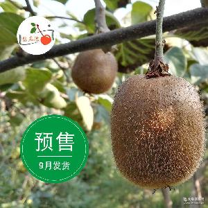 新鲜预售9月发货陕西眉县徐香猕猴桃8斤装