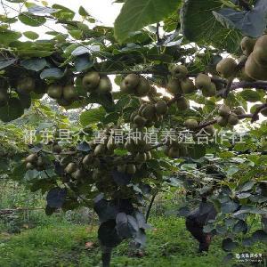 新鲜水果 新西南绿心猕猴桃 原生态新鲜奇异果猕猴桃