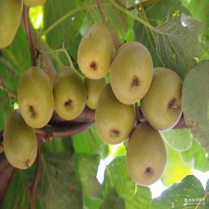 12个一箱 众善福直销红心奇异果 接受预售 新鲜水果 猕猴桃
