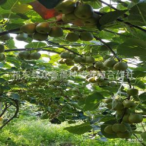 湖南猕猴桃奇异果新鲜水果精选大果果园直供3斤装包邮