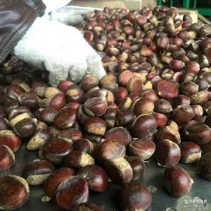 糖炒板栗标栗100斤老栗树带壳生板栗批发 产地直销新鲜生板栗油栗