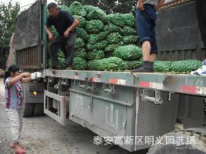 鲜核桃供应 生核桃批发13953891295 山东青皮核桃价格