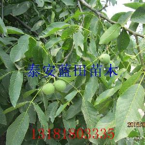 香玲核桃果 核桃苗 青皮核桃价格 薄皮新鲜上市