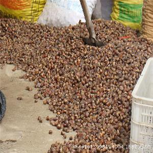香糯可口一级油板栗 直销供应薄皮板栗 大量批发生板栗 泰山板栗