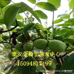 绿皮麻核桃 厂家直销 2016年新鲜青皮核桃 当年现货青皮核桃