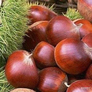 质优价廉 有机生板栗 纯天然农家自产板栗 现货批发生鲜栗子