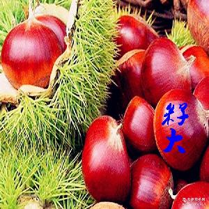 新品大凉山特产自家农场生产纯手工采摘天然成熟板栗批发生板栗