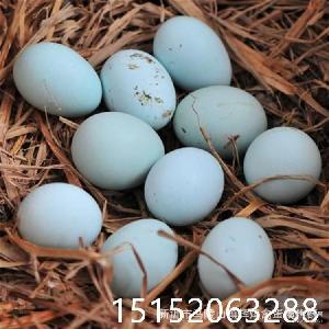 批发新鲜正宗绿壳乌鸡蛋树林散养绿壳土鸡蛋量大价优 可一件代发