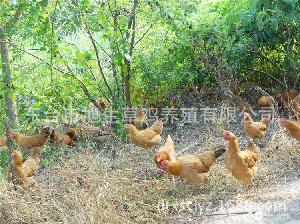 乌鸡绿壳蛋 虫草鸡蛋 无公害生态鸡蛋