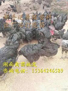 存活高 绿壳率高 土鸡苗 供应五黑一绿乌鸡绿壳鸡苗 量大包运