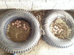 农场牧草土鸡蛋 包破损假一赔十 土特产土鸡蛋30枚一件代发包邮