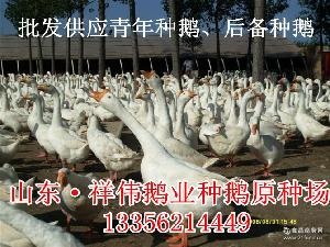 鹅毒清 预防鹅流感 小鹅疫苗 流感疫苗 鹅蛋 鹅疫苗