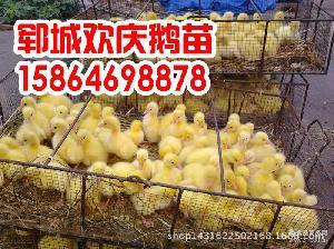 鹅种蛋 鹅胚胎 商品鹅蛋 鹅珠蛋15864698878 常年大量供应鹅蛋
