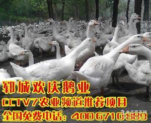 鹅种蛋 商品鹅蛋 常年大量供应鹅蛋 鹅胚胎 鹅珠蛋15864698878