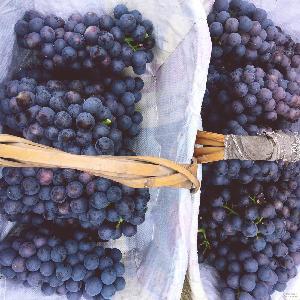 夏黑葡萄2.5斤小孩孕妇水果葡萄一件代发顺 提子 现摘现发葡萄