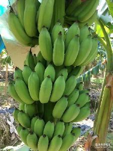 广粉1号 香蕉 金粉1号 广西玉林种植户直供 超甜 皇帝蕉 粉蕉