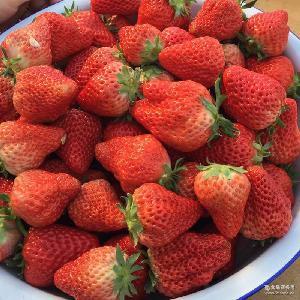 有机九州娱乐官网 新鲜水果 草莓基地供应优质草莓 大量批发