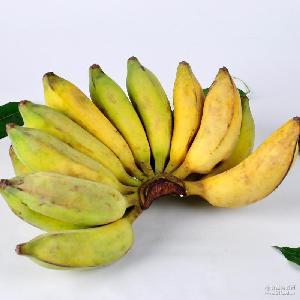 批发广西特产北海涠洲岛芭蕉 现摘现发新鲜小香蕉 一件代发