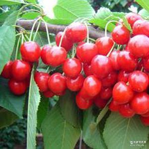 山东大樱桃基地批发 茂名大樱桃一件代发特价美早烟台大樱桃