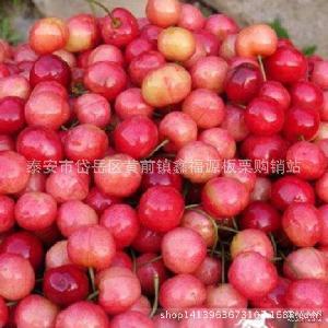 早红宝石 抢先上市 现货供应山东露天大樱桃