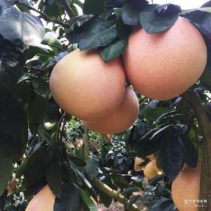 10盒起批现货包邮 平和蜜柚产地直销 优质三红蜜柚
