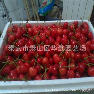 2016 新鲜水果大量批发 樱桃 车厘子预订 山东樱桃基地大樱桃