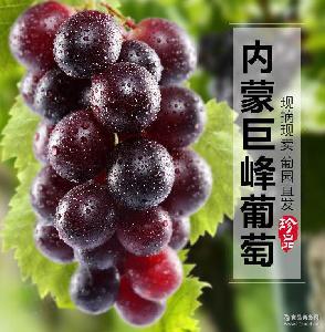 巨峰葡萄非提子孕妇大粒脆甜可口 特价包邮 农场直销现摘水果