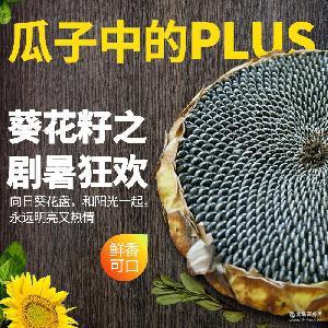 新鲜现采葵花籽 批发供应饱满充实向日葵花盘 天然种植葵花花盘