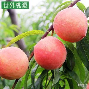踢球山水蜜桃批发自家种植纯天然水果现采现摘同城物流送货上门