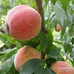 龙泉脆甜水蜜桃天然水果12个装大果现摘现发批发零售顺丰空运包邮