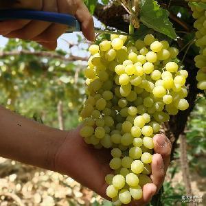 新疆吐鲁番葡萄鲜果无核白新疆特产新鲜吐鲁番水果一件代发