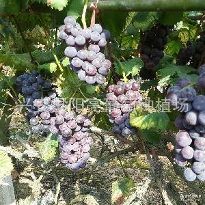 巨峰葡萄 质量上乘 葡萄厂家特价供应新鲜巨峰葡萄