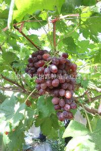 恩施富硒现摘现发有机葡萄提子新鲜水果厂家直销5斤每盒