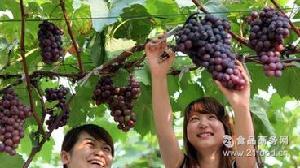 葡萄新鲜水果无公害产品2.5公斤装 山东济南商河