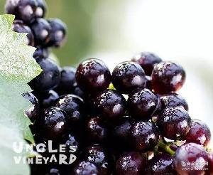 提子批发供应中熟巨玫瑰葡萄 新品种大粒高档鲜食葡萄 葡萄