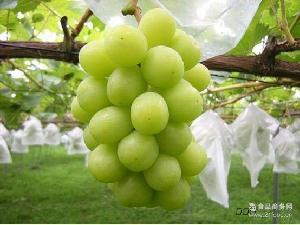 新鲜采摘 驻马店葡萄 散装天然 新疆提子 农家 免洗 阳光玫瑰葡萄