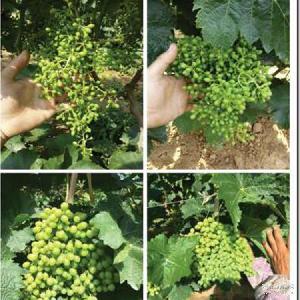 青提 新鲜营养美味健康 新鲜应季时令水果 提子葡萄