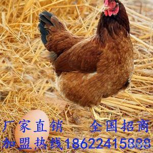 全国* 品质* 特级柴鸡蛋 散养蛋 土鸡蛋 承硕农品
