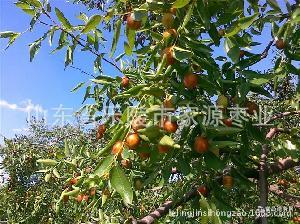 山东省乐陵市鲜金丝小枣2元 斤 代收 大批量供应