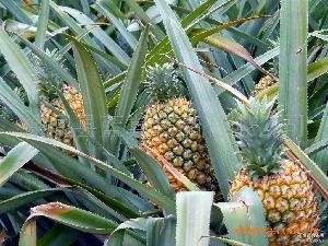 凤梨 [果农场地]直销 新鲜菠萝