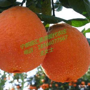 九省包邮 新品上市 赣南宁都脐橙批发 一件代发 新鲜现摘有机水果