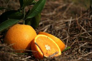 秭归夏橙 果园现摘脐橙子一件代发 新鲜天然水果直销