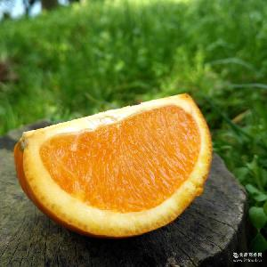 秭归四月鲜橙 新鲜脐橙 果园现摘现发5斤批发 伦晚脐橙天然多汁