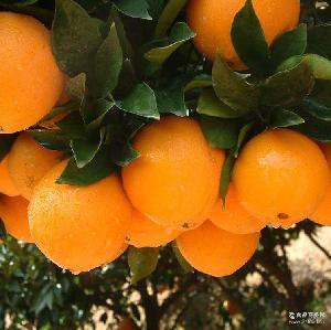 18斤特惠装 新鲜橙子安远脐橙 正宗赣南脐橙