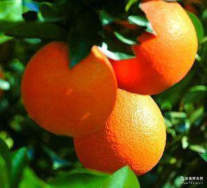 新鲜橙子 正宗赣南脐橙 20斤特惠装 安远脐橙