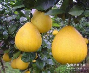 新鲜水果 正宗琯溪蜜柚 黄肉蜜柚 黄金蜜柚产地批发